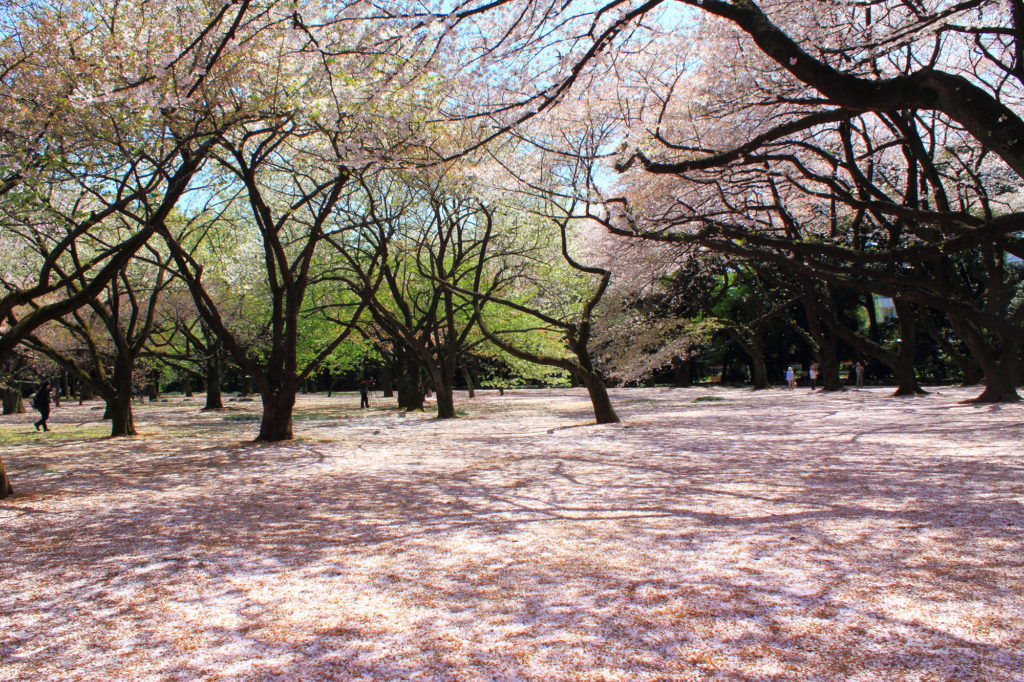 Shinjuku Gyoen National Garden   sakura 2 1024x682 - Cherry Blossom Season: Best Spots to View