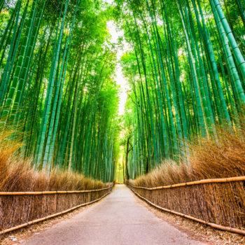 bamboo 1 350x350 - Magnificent Japan